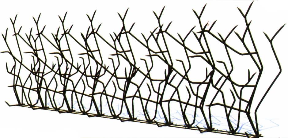 معرفی حفاظ بوته ای (شاخ گوزنی)